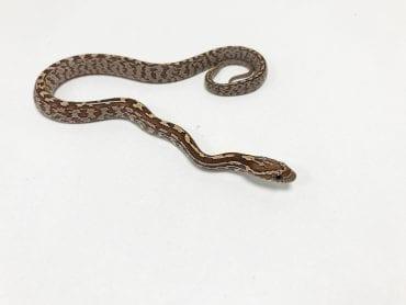 Tessera het Strawberry, Anery, Amel Corn Snake CB19