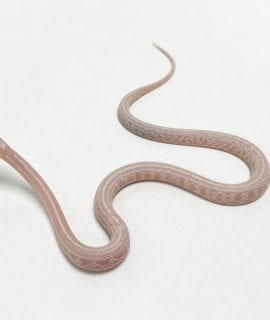 Coral Snow Tessera Corn Snake CB19