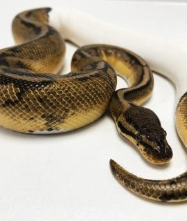 Male Super Pastel Pied Royal Python CB17