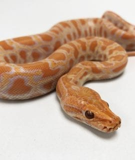 Male Albino Burmese Python CB19