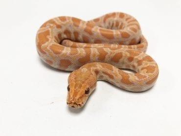Female Albino Burmese Python CB19
