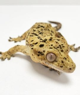 Female Super Dalmatian Crested Gecko CB Adult 52g
