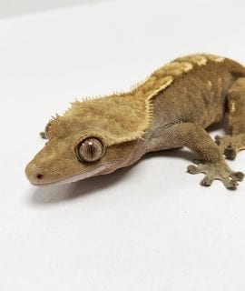Female Flame Crested Gecko CB Adult 44g