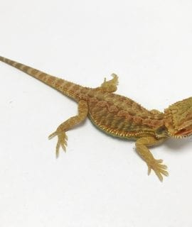 Hypo Citrus Translucent Dunner Bearded Dragon CB19