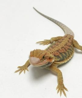 Hypo Translucent Rainbow Tiger Dunner Bearded Dragon CB19