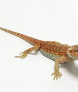 Hypo Red Translucent Dunner Bearded Dragon CB19