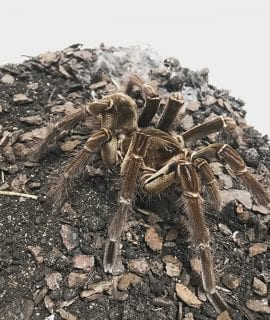 Burgundy goliath birdeating tarantula