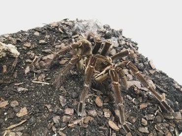 Burgundy goliath birdeating tarantula