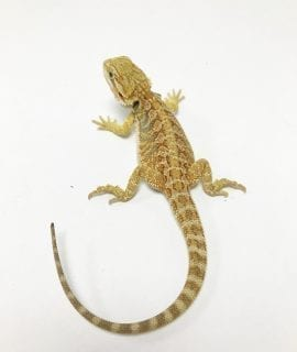 Hypo Citrus het Translucent Bearded Dragon CB19