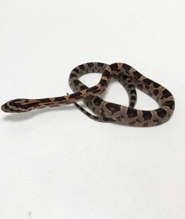 Classic Corn Snake CB19 PRE-ORDER ONLY