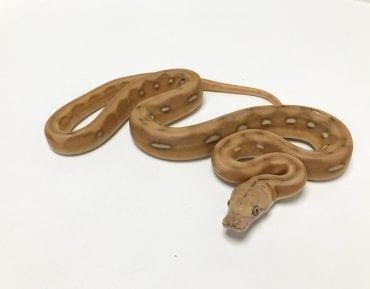 Male Mochino Suntiger Citron Mainland Reticulated Python