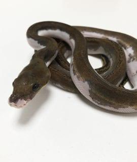 Male Pied poss het Albino Mainland Reticulated Python CB19