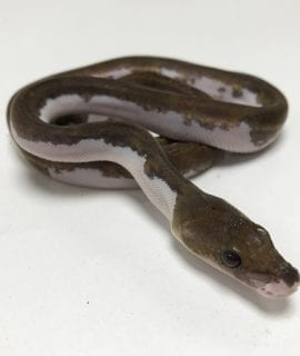 Female Pied poss het Albino Mainland Reticulated Python CB19