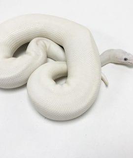 Male Blue Eyed Leucistic Royal Python CB18