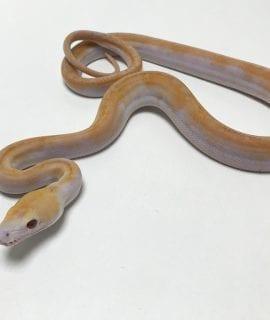 Male Lavender Albino Pied Reticulated Python CB19
