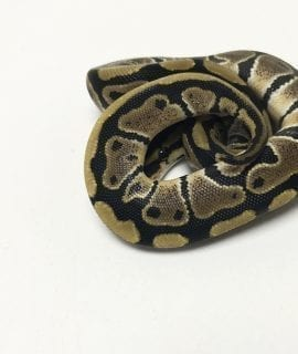 PRE-ORDER ONLY Female Classic het Clown Royal Python CB19