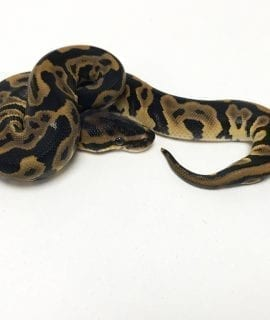 PRE-ORDER ONLY Female Leopard het Clown Royal Python CB19