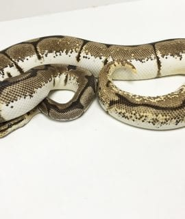 Female Orange Dream Spider Royal Python 1300g CB