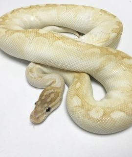 Male Super Special Noco Line Royal Python 750g CB16
