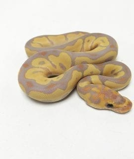 PRE-ORDER ONLY Male Banana Clown Royal Python CB19