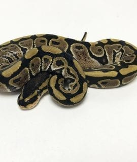 PRE-ORDER ONLY Male Classic het Clown Royal Python CB19
