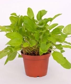 PR Live Food Plant; Common Sorrel 10cm pot