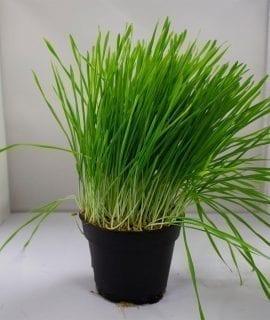 PR Live Food Plant; Wheat Germ 10cm pot