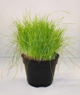 PR Live Food Plant; Fine Forage Grass 10cm pot