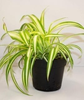 PR Live Food Plant; Barley Grass 10cm pot