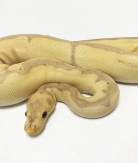 Male Banana Blade Clown Royal Python 220g CB18