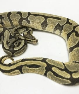 Female Enchi Ghost Royal Python 850g CB16