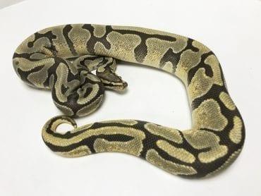 Female Enchi Ghost Royal Python 850g CB16