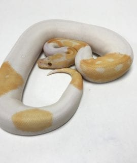 Male Dreamsicle Royal Python 440g CB18