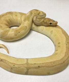 Male Banana Clown Royal Python 680g CB17