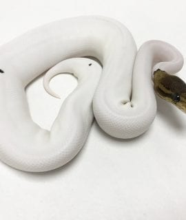 Female Pewter Pied Royal Python 200g CB18