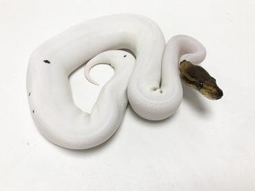 Female Pewter Pied Royal Python 200g CB18