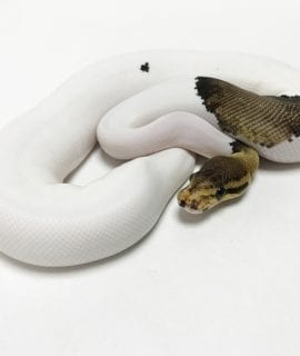 Female Sterling Pied Royal Python 200g CB18