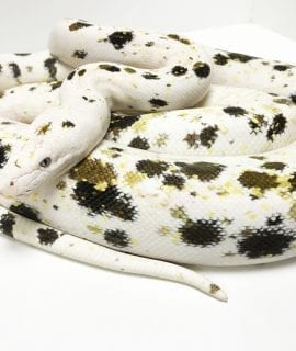 Female Goldenchild Cow Dwarf Reticulated Python CB17