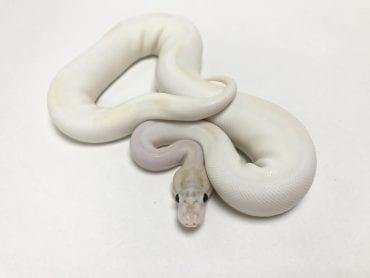 Female Ivory Pied Royal Python 320g CB18