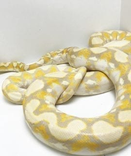 Female Lavender Albino Breeder Dwarf Reticulated Python CB12