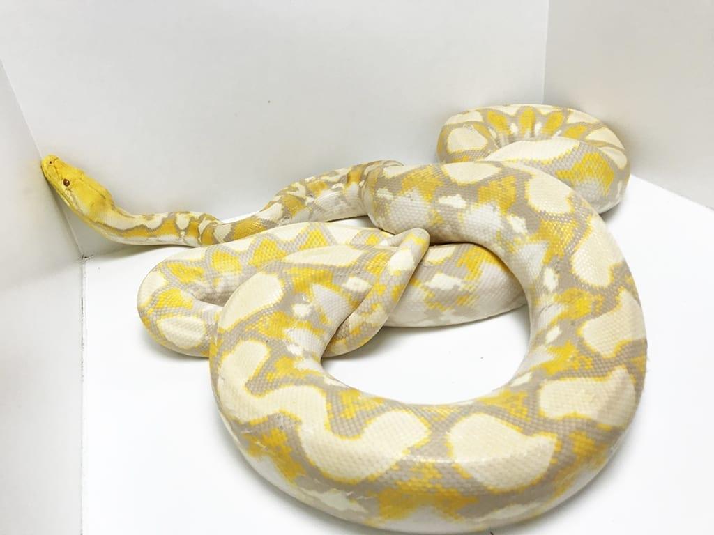 Female Lavender Albino Breeder Dwarf Reticulated Python CB12