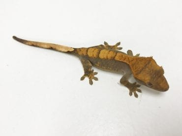 Male Extreme Harlequin Crested Gecko Sub Adult