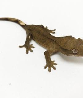 Classic Crested Gecko 5-6cm CB19