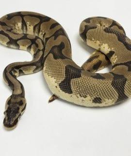 Female Enchi Pastel het Pied Royal Python 1kg CB17