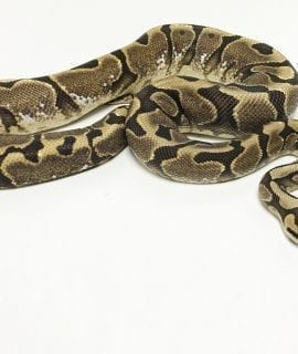 Female Gravel Woma Calico Royal Python 900g CB17