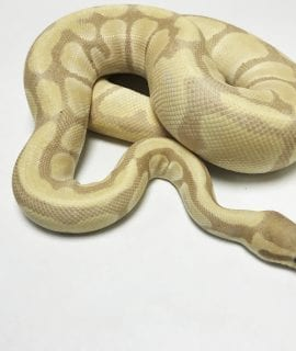 Female Lavender Albino Royal Python 1300g CB16