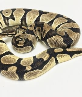Female Orange Dream Royal Python 1550g CB16