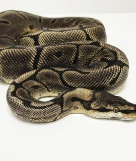 Female Spider Leopard Royal Python 1.7kg CB