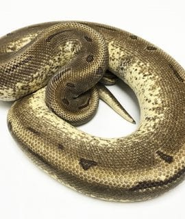 Male Super Enchi Pinstripe het Pied Royal Python Proven Breeder