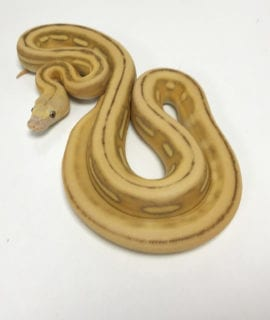 Female Mochino Super Tiger poss Citron Mainland Reticulated Python CB19
